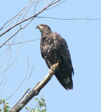 Imm bald eagle  Photo D. Brown
