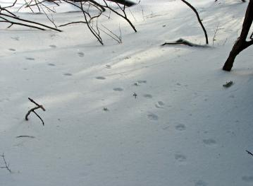 Red fox and weasel trails  Photo D.Brown